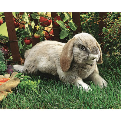 Holland Lop rabbit 1